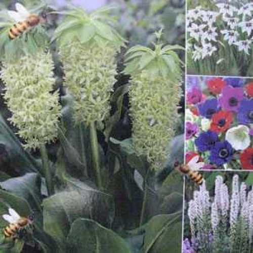 Acidanthera, Liatris Alba, Anemone De Caen, Eucomis Bicolor Alba Happy Bee Collection 50 Per Pack