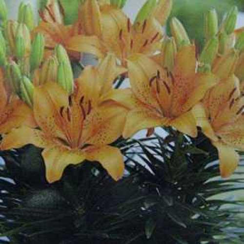 Lilium (Lily) Bulbs Patio/Asiatic Victory Joy 3 Per Pack