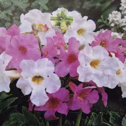 Incarvillea Mixed Bulbs 4 Per Pack