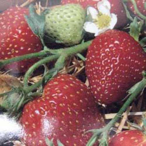Strawberry Everbearing Ostara 3 Per Pack