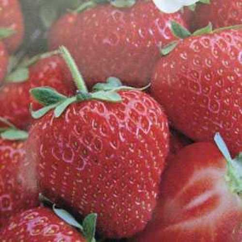 Strawberry Early Bearing Elsanta 3 Per Pack
