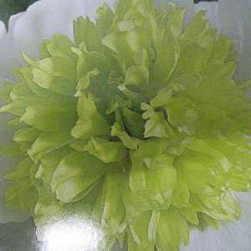 Peony Paeonia Primavera Bulb 1 Per Pack