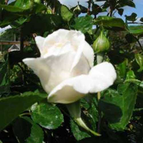 Rose 1/2 Standard Birthday Rose Floribunda Rose 80cm Clear Stem 7.5ltr Pot