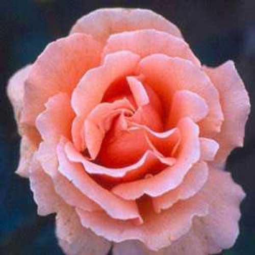 Rose 1/2 Standard Warm Wishes Hybrid Tea Rose 80cm Clear Stem 7.5ltr