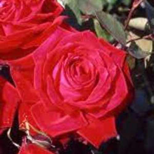Rose 1/2 Standard Ruby Wedding 40th Anniversary Rose Hybrid Tea 80cm Clear Stem 7.5ltr pot