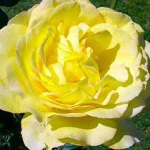 Rose 1/2 Standard Mountbatten Floribunda 80cm Clear Stem 7.5ltr