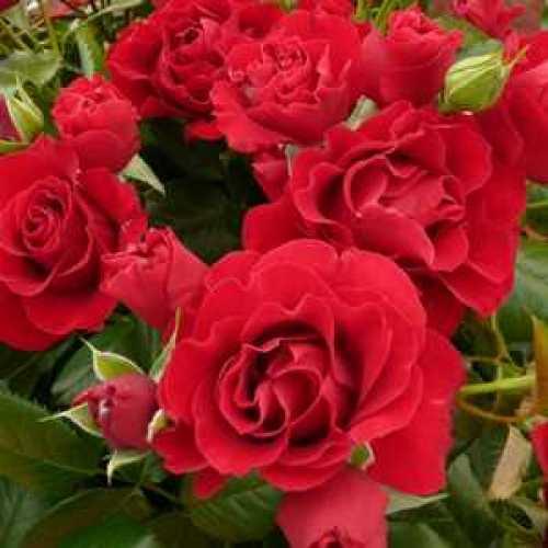 Rose 1/2 Standard Paisley Abbey Floribunda 80cm Clear Stem 7.5ltr