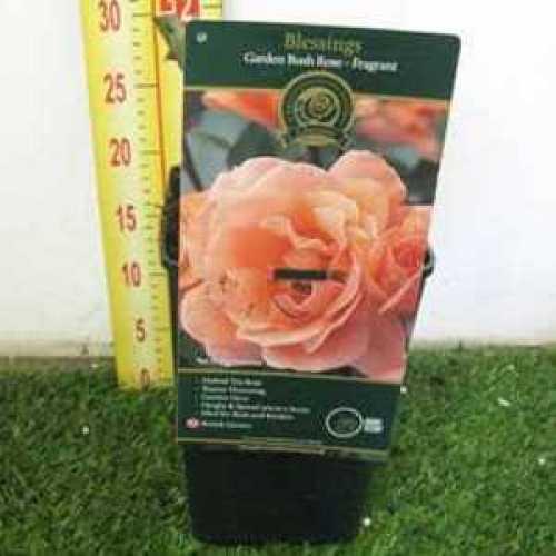 Rose 1/2 Standard Blessings Hybrid Tea 80cm Clear Stem 7.5ltr