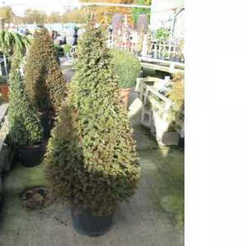 Taxus Baccata (Yew) Pyramid 120cm 35ltr