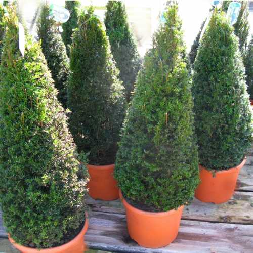 Taxus Baccata (Yew) Pyramid (10ltr) Set of Two