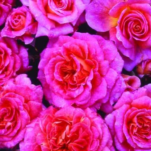 Rose Bush Floribunda Special Grandma 3.5ltr