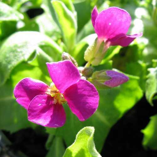 Arabis 'Little Treasure' Deep Rose