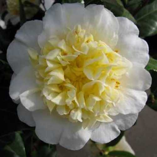 Camellia Japonica 'Jury's Yellow'