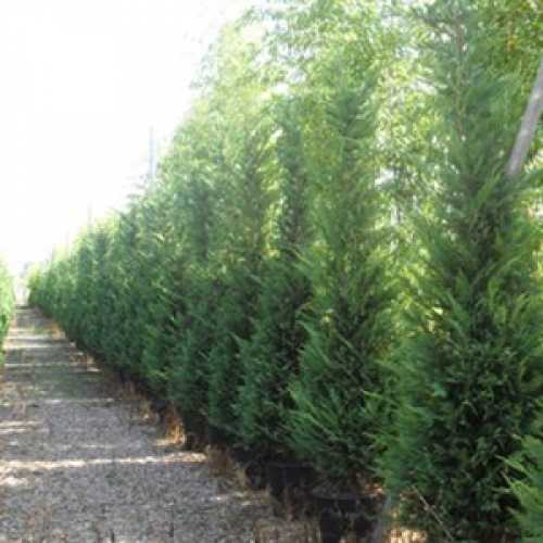 Leylandii Green Cupressocyparis 200-250cm 35ltr Pot