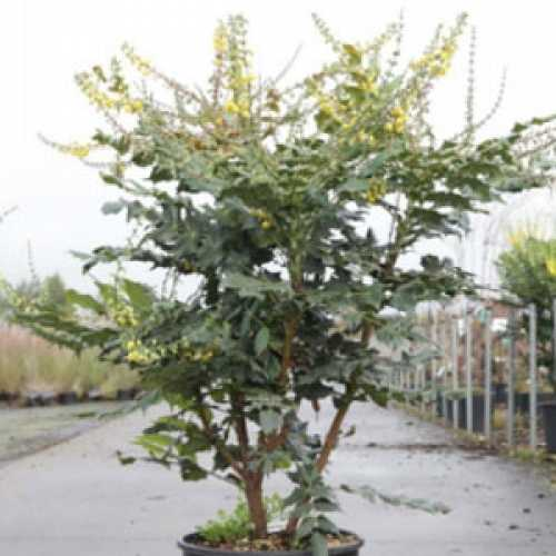 Cheap Mahonia Japonica Cheap Winter Flowering Shrubs
