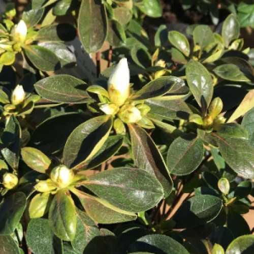 Azalea Japonica 'White Rose Bud'