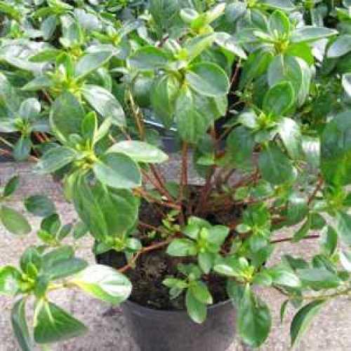 Azalea Japonica White Rose Bud
