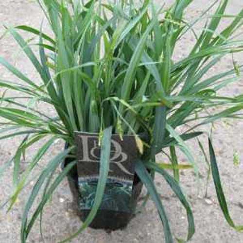 Carex Laxiculmis Bunny Blue Evergreen Sedge Grass