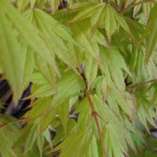 Acer Shirasawanum 'Jordan' Full Moon Maple