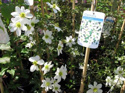 Clematis Early Sensation 3ltr