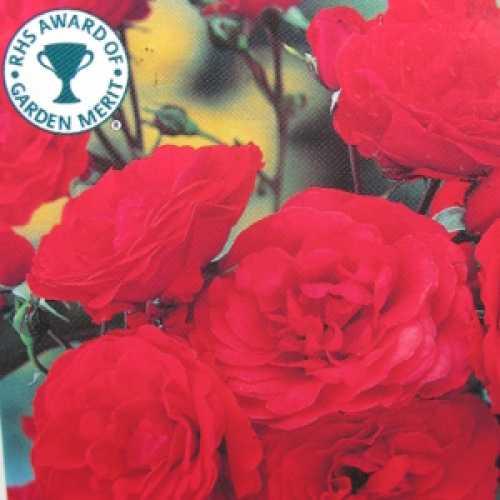 Trumpeter Floribunda Rose