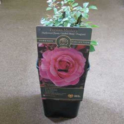 Rose Bush Persian Mystery Patio Shrub Rose 3.5ltr