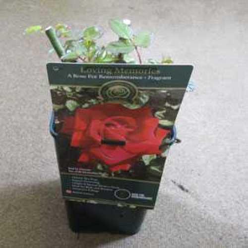 Rose Bush Hybrid Tea Loving Memories 3.5ltr