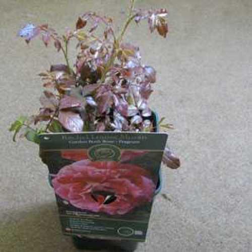 Rose Bush Hybrid Tea Rachel Louise Moran 3.5ltr