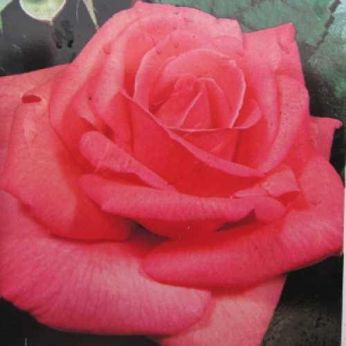 Mischief Hybrid Tea Rose