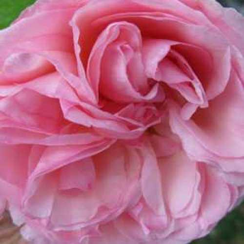 Rose Climbing Eden Pierre De Ronsard 3ltr
