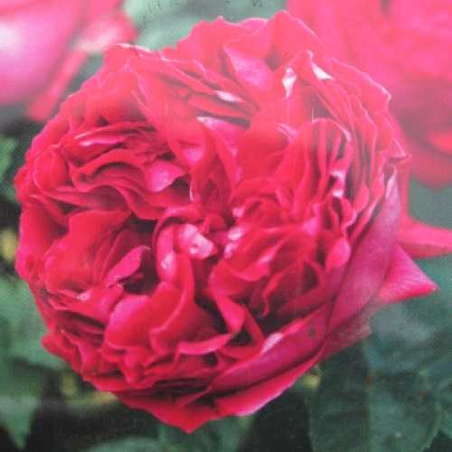Red Eden Climbing Rose