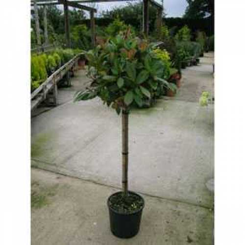 Photinia Fraseri Red Robin 1/4 Standard 15ltr