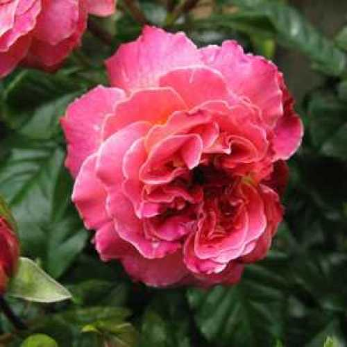 Rose Patio Designer Sunset 3.5ltr