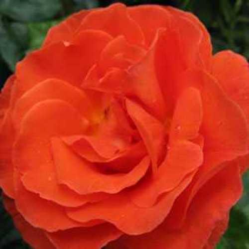Rose Bush Robert Winston Floribunda Rose Fragrant Harkness 3.5ltr