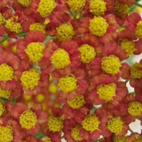 Achillea Millefolium Walther Funcke Yarrow 3ltr