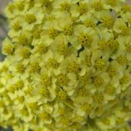 Achillea Millefolium Summer Fruits Lemon Yarrow 3ltr