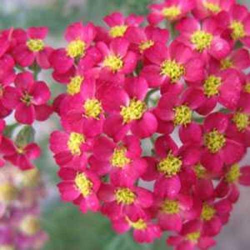 Achillea Millefolium Paprika Yarrow 3lt