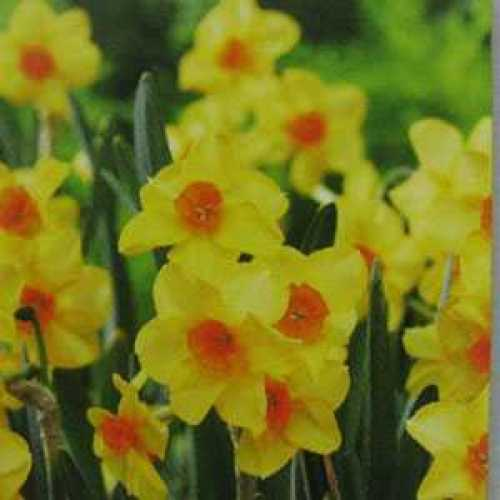 Narcissus Jonquilla Bulbs Martinette 10 Per Pack