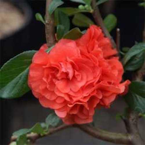 Chaenomeles Speciosa Orange Storm Thornless Proven Winners