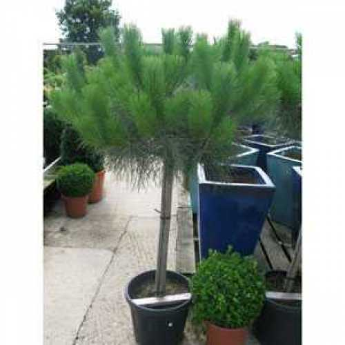 Cheap Pine Trees Online Cheap Topiary Trees