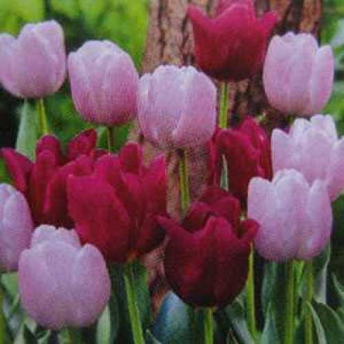 Tulip Bulbs Triumph Simply Elegance 25 Per Pack