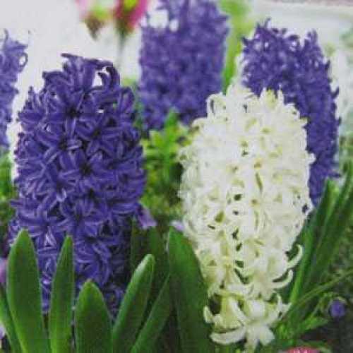 Hyacinth Bedding Bulbs Spring Storm Mixed 8 Per Pack