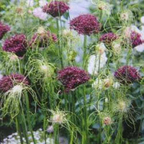 Allium Bulbs Special Mixed 10 Per Pack