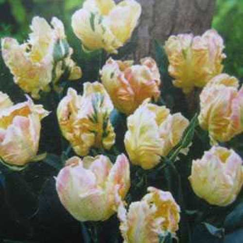 Tulip Bulbs Parrot Libretto Parrot 10 Per Pack