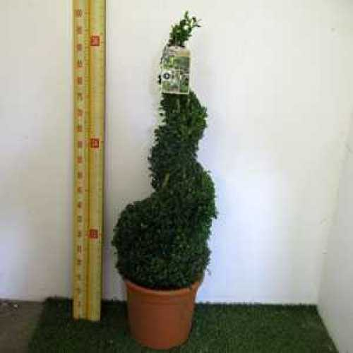 Buxus Sempervirens Box Spiral Plant Height 80cm 12ltr