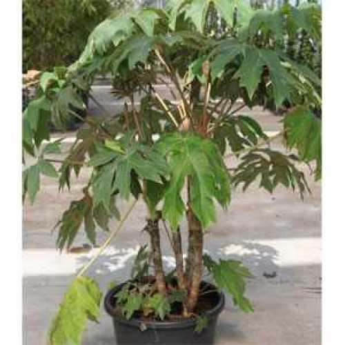Tetrapanax Papyrifera Rex Chinese Rice Paper Plant 100cm + 25ltr