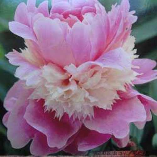 Root Peony Paeonia Bare Roots Perennial Impressive Resistant Flowers Fragrant