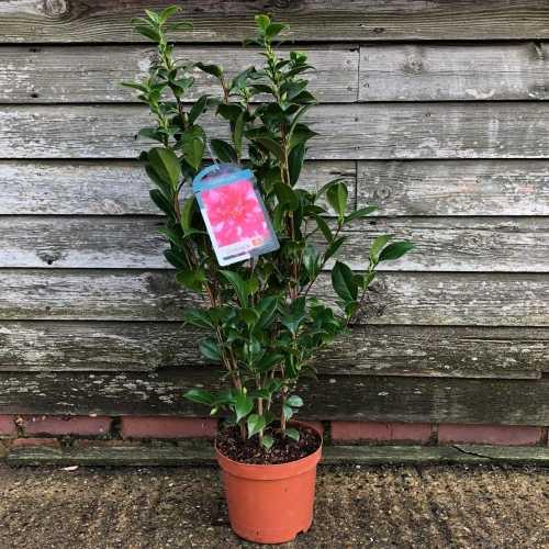 Camellia Japonica 'Kasuga-Yama'