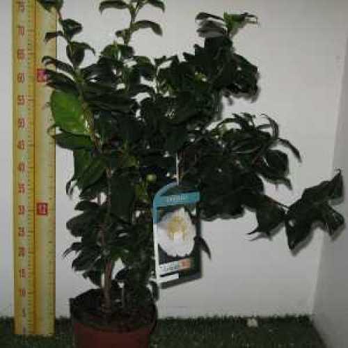 Camellia Japonica 'Myaki Dori'