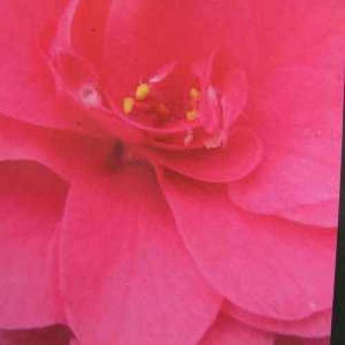 Camellia Japonica 'Fire Ball'